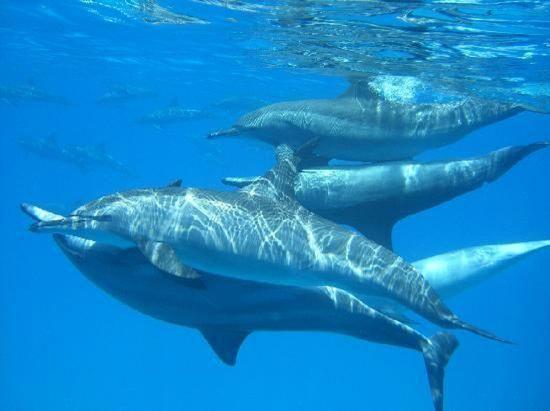 Schwimmen mit Delfinen in Hurghada am Roten Meer mit Delfinschwimmen Rotes Meer Ägypten.
