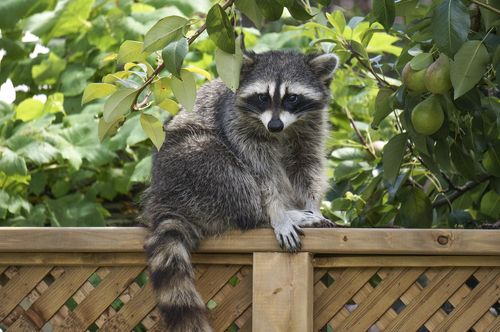 How To Get Rid Of Raccoons Possums And Skunks In Your Yard