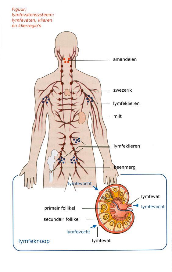 01 figuur lymfenvatenstelsel