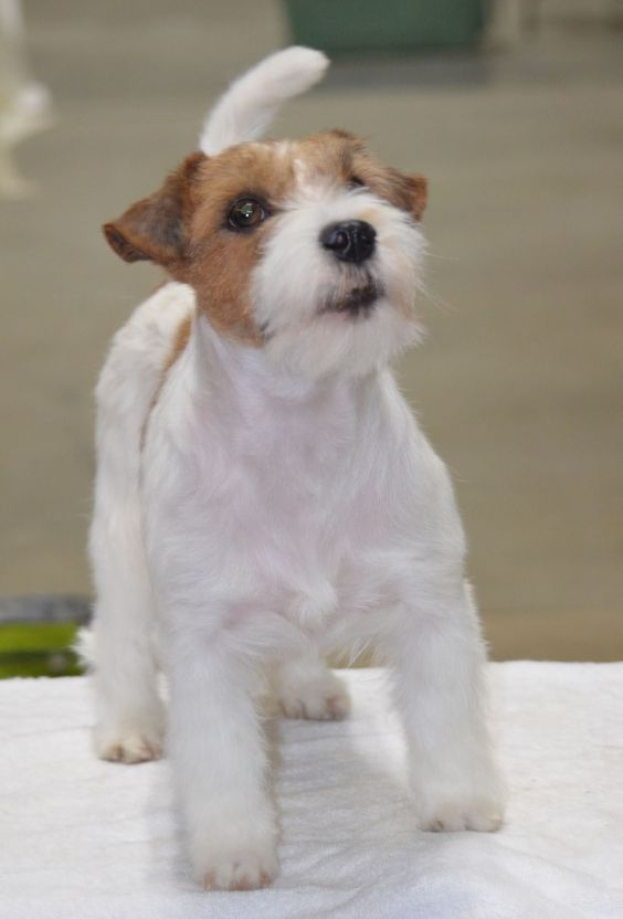 Cocker Spaniel X Bichon Puppies For Sale Gravesend Kent