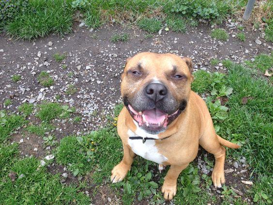 Happy pitbull