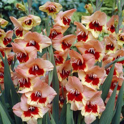 Butterfly Gladiolus 'Pamela'