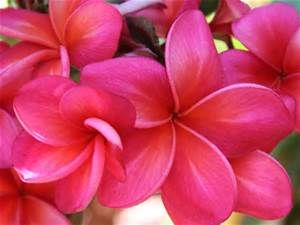 plumeria - - Yahoo Image Search Results