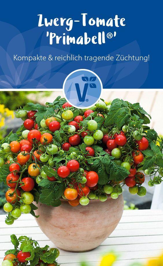 Zwergtomate Fur Garten Balkon Tomatenpflanze Tomaten Topftomate Von Volmary Die Rote Zwerg Tomate P Tomaten Im Topf Tomatenpflanzen Tomaten Pflanzen