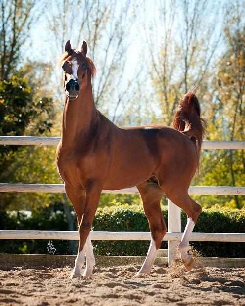 Enzo; 1999 chestnut Arabian stallion (Padrons Psyche x RD Bey Shahmpane)