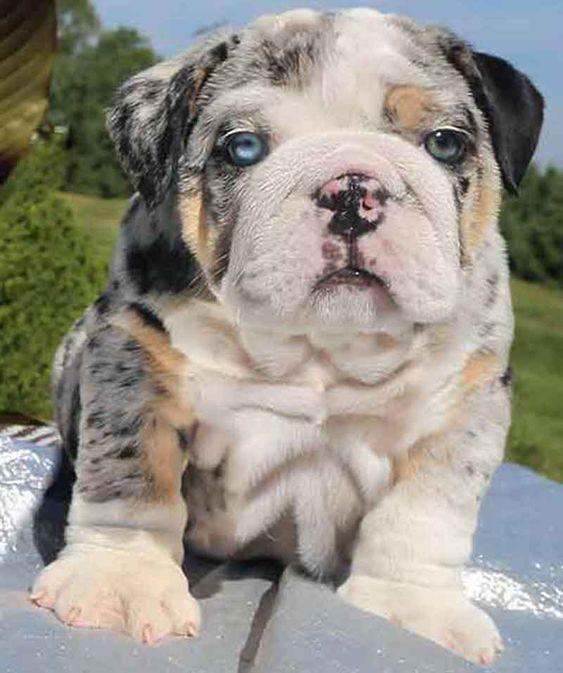 Green And Blue Eyed English Bulldog Puppy English Bulldog