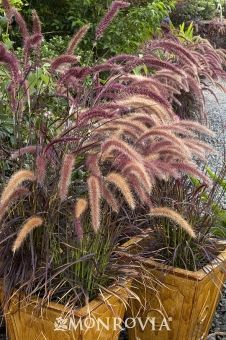 Purple Fountain Grass - Popular, drought tolerant grass forms neat clumps of purplish maroon blades. Topped by rose red flower spikes summer through fall. Beautiful as landscape specimen or planted in groups. Provides quick annual color in any climate. Perennial in warm climates.