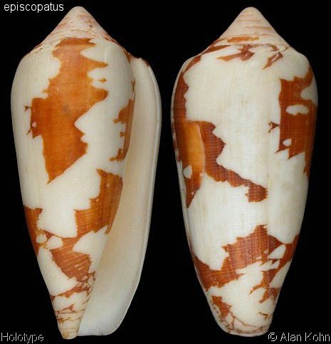 Darioconus magnificus Motta, A.J. da, 1982 Shell size 50 - 114 mm Indo-Pacific excl Hawaii