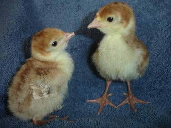 Bourbon red turkey poults - photo#21