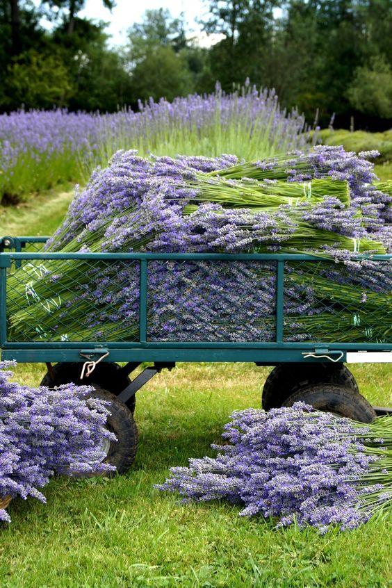 Harvesting lavender:
