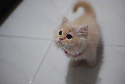 munchkin kitten!!