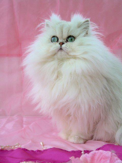 Cats To Adopt Nyc Teacupcats Persian Cat Cats And Kittens