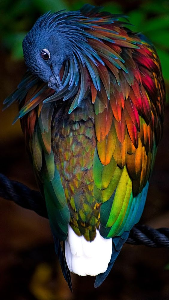 close up photo of a nicobar pigeon scratching its feather