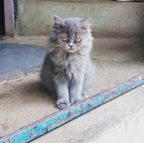 Cute Dollface Female Persian Available At Very Low Price Dm For Enquiry Cute Dollface Female Persian Available At Very Persian Cat Cat Club Cats Of Instagram