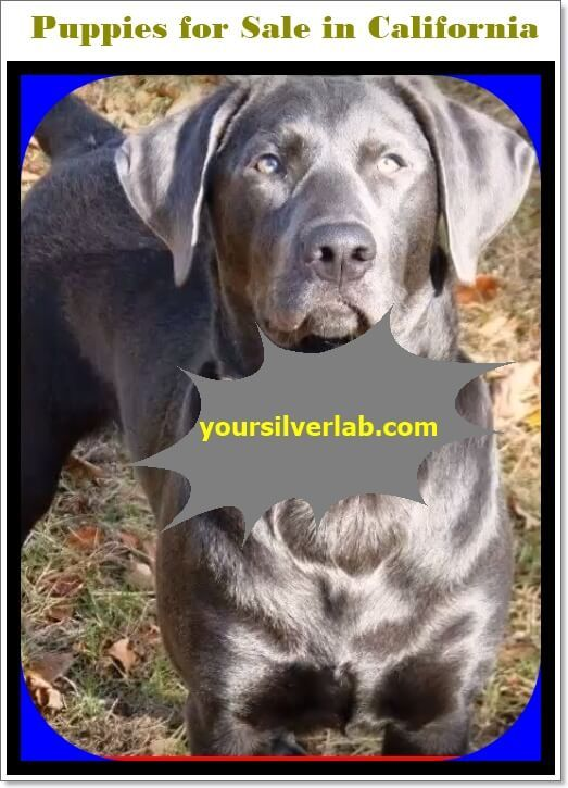 Silver Lab Puppies For Sale In California Best Labrador Breeders California In 2020 Lab Puppies Labrador Puppies For Sale Silver Lab Puppies