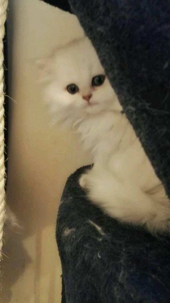 Gorgeous Pedigree Persian Chinchilla Kittens Ready Now In Borehamwood Hertfordshire Gumtree Kittens Cute Animals Animals