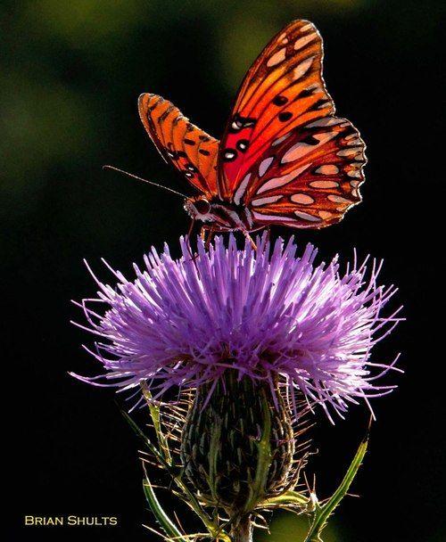 Gulf Fritilary butterfly