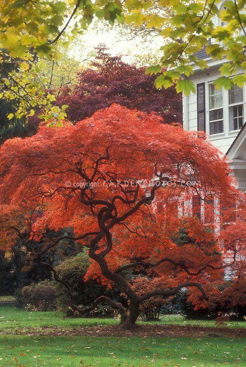 Acer 5 Lovely Trunk Shape Flower Stock Photography Japanese Maple Tree Planting Flowers