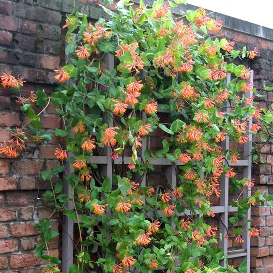 Available early April 2019 - reserve your plants now! Grow your own vertical garden, create a lush oasis of privacy, transform an ugly fence into a flowering trellis with 'Dropmore Scarlet' honeysuckle ( Lonicera brownii ). This non-invasive honeysuckle vine quickly covers fences, trellises, railings, mailboxes, and more with handsome foliage and hundreds of colorful, fragrant flowers. You'll love the way it looks, smells, and all the hummingbirds and butterflies it attracts. Lonicera Dropmore