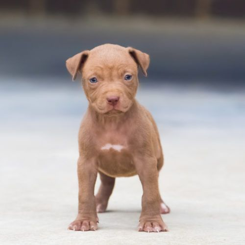 Red Nose Pitbull Puppies For Sale Pitbull Puppies Red Nose