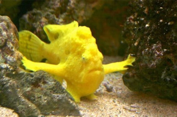 Hawaiin frogfish ok this fish looks as if it 39 s for Fish that looks like a rock