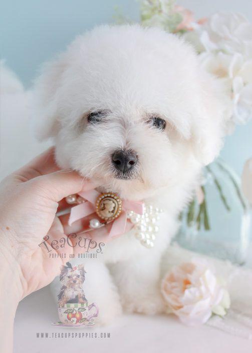 Yorkie Puppies Miami Teacups Puppies Boutique Maltese Puppy Teacup Puppies Yorkie Puppy