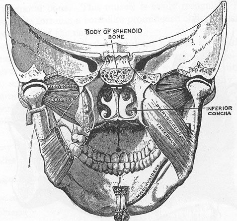 Anatomy of mouth and jaw