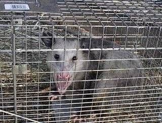 how to get rid of possums raccoons squirrels in your yard with