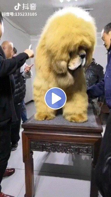 o maior cachorro do mundo….