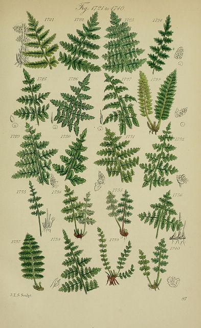 Fougères (Filicophyta)  http://www.faune-flore.be/fleurs_belgique/identification_des_fougeres.htm