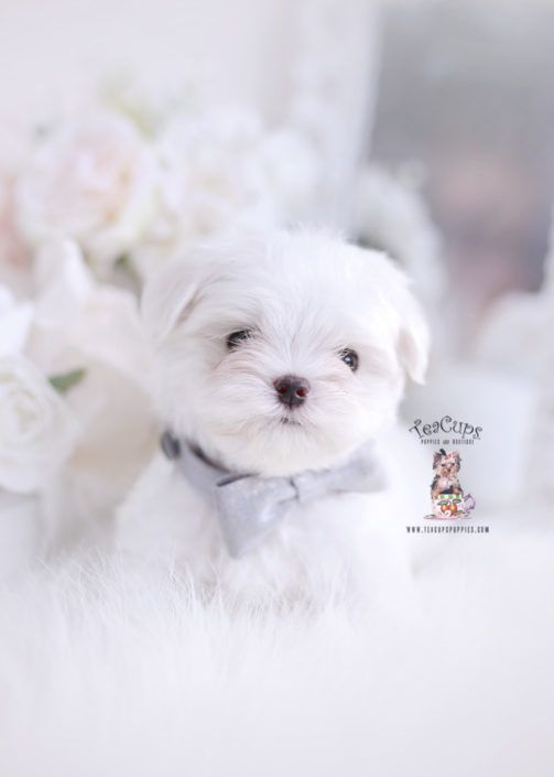 Maltese Puppy For Sale Teacup Puppies 336 Cuteteacuppuppies