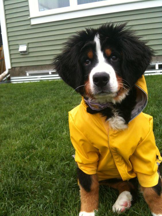 Rain Day Bernese Mountain Dog Rain Jacket Yellow Green