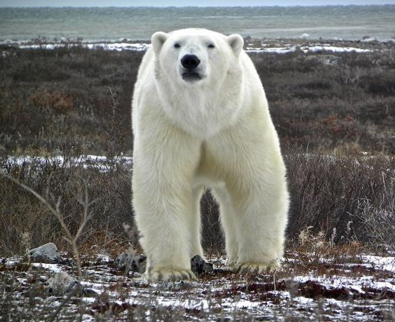 So close to the polar bears, you can smell their breath!  Walking safaris in Churchill, Manitoba, Canada get you much closer to the bears. No tundra buggies here!