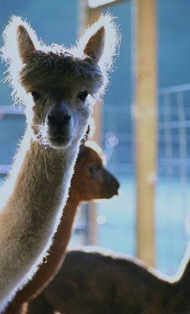 Alpaca Fiber Studio, Alpaca Fiber Studio & Friends, LLC Chargin Falls, OH Yarn