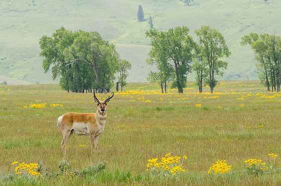 In a Golden Field  A pronghorn stands in a field dotted by arrowleaf balsamroot, a yellow flower in the sunflower family (Asteraceae) commonly found in mountain fields in the western United States. Credit: USFWS / Barbara Hayton, National Elk Refuge volunteer