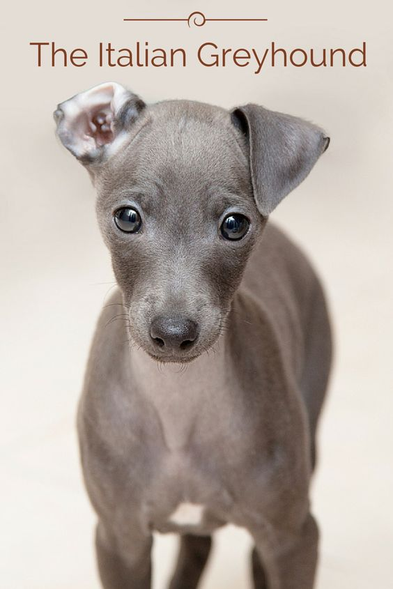 The modern Italian Greyhound originated in Italy about 2,000 years ago when Italians starting breeding the naturally born smaller sized Greyhounds, which eventually resulted in the modern Italian Greyhound. This breed was created to be a companion animal and they were favorites with the Romans and English nobility. Wanna know more about the Italian Greyhound? Click the photo!: