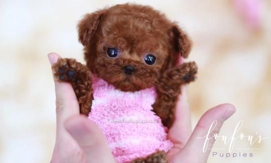 Welcome To Foufou Puppies The Home Of The World S Most Exquisite Teacup Poodles For Sale Conta In 2020 Teacup Puppies For Sale Teacup Poodles For Sale Teacup Puppies