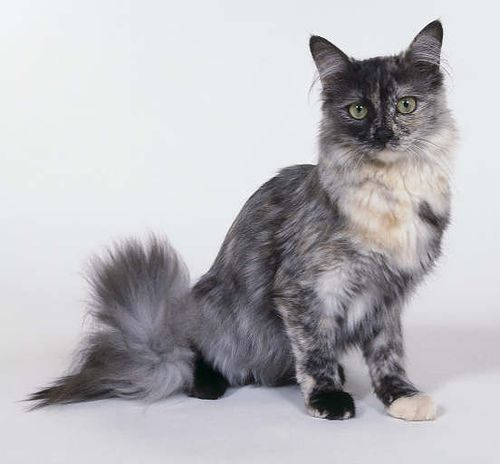 Cats Google And Turkish Angora Cat On Pinterest