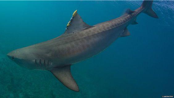 Pesquisadores 'instalam' GPS em tubarões em programa de preservação