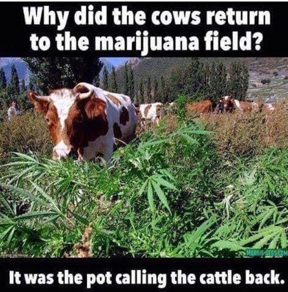 Pot calling the cattle back