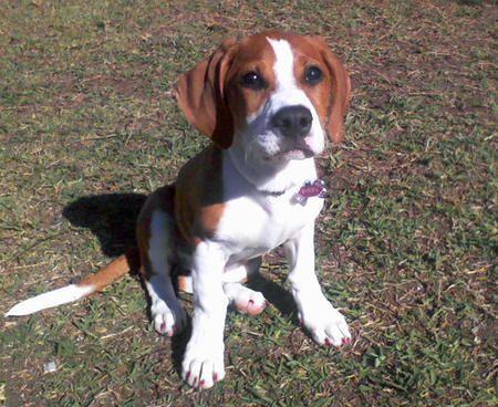 The Beagle Is A Breed Of Hunting Dog That Has Been A Popular Human