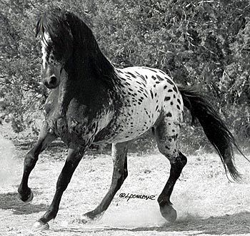 """""""El Caballo Tigre,"""" from Spain, and the oriental Heavenly Horses once used to hunt the Siberian Tiger. Fortunately before going extinct, the exotic spotting genes of those early breeds, plus many of their original characteristics, began arriving in the USA in a mixture of related breeds, some 300 years ago. Today's Tiger Horse is a larger, longer living version than the Heavenly Horses from which they descend:"""