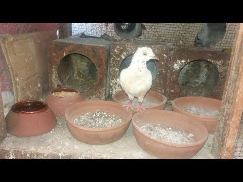 إزاي تبدأ مشروع تربية الحمام وتحقق منه ربح بأسرع وقت وأقل التكاليف Pigeons Tower Of Birds Sahora Youtube House