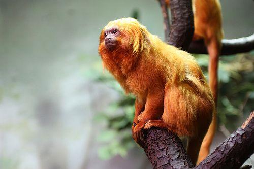 tucano do bico preto em extinção floresta amazônica brasil