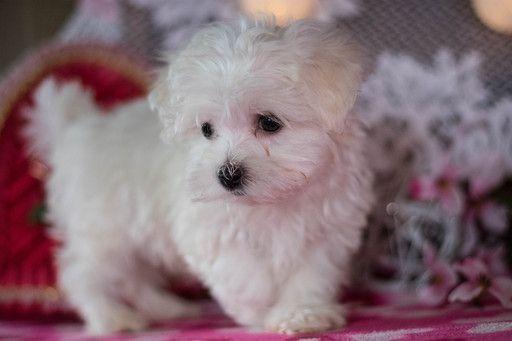 Maltese Puppy For Sale In Kent Oh Adn 62492 On Puppyfinder Com