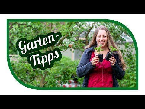Aussaat Gartentipps Im Mai Tomaten In Kubeln Topfen Anbauen Tipps Zur Paprika Gurken Bohnen Youtube In 2020 Youtube Garten