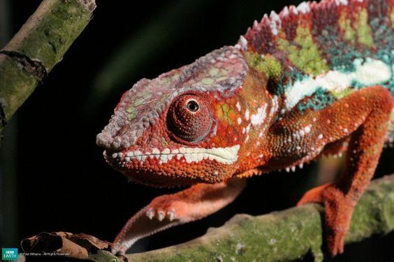 bbc-lifeis-pantherchameleon