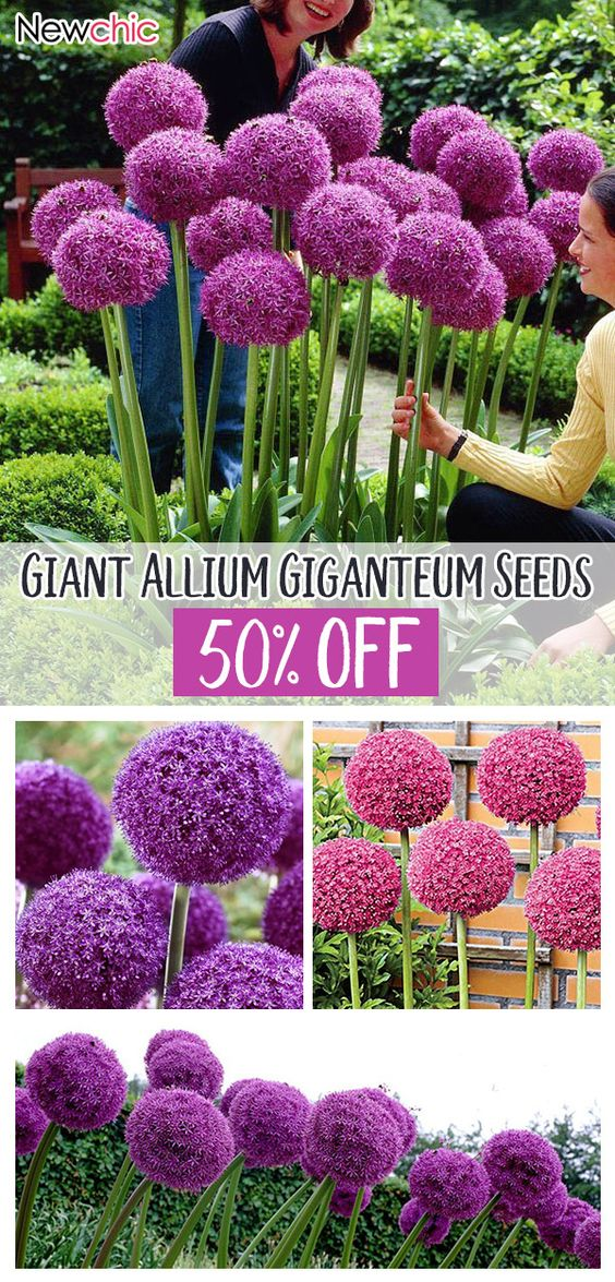 Egrow 100 Pcs Garden Outdoor Giant Allium Giganteum Beautiful Flower Seeds Bonsai Plant Seeds Allium Flowers Allium Giganteum Flower Seeds