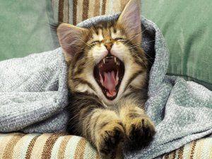 La boca de un gatito al bostezar