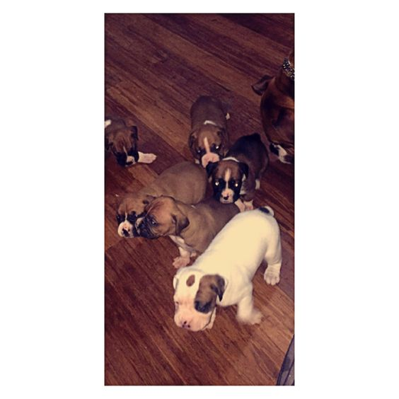 Boxer Puppies For Sale In Connecticut Ct 203 414 1615 Boxer